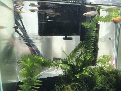 幼魚と成魚を混泳